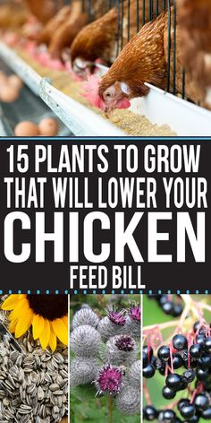 15 Plants To Grow That Will Lower Your Chicken Feed Bill Raising chickens in the backyard is one of the most common hobbies across the United States and many other countries. Chickens need unique care to stay healthy. Plants For Chickens, Raising Backyard Chickens, Keeping Chickens, Pet Chickens, Backyard Farming, What To Feed Chickens, Chickens In Garden, Backyard Sheds, Chicken Garden