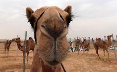 IlPost - Cammelli prima di una gara di corsa durante il festival di Sheikh Sultan Bin Zayed al-Nahyan, nella periferia di Abu Dhabi. Il festival prevede un concorso di bellezza per cammelli, un'asta di cammelli e mostre di artigianato tradizionale (KARIM SAHIB/AFP/Getty - Cammelli prima di una gara di corsa durante il festival di Sheikh Sultan Bin Zayed al-Nahyan, nella periferia di Abu Dhabi. Il festival prevede un concorso di bellezza per cammelli, un'asta di cammelli e mostre di…