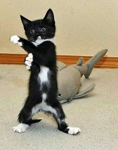 Funny Cats and Kittens Meowing Compilation 2014 - Furry 'N Cute Cute Cats And Kittens, I Love Cats, Crazy Cats, Cool Cats, Kittens Cutest, Cute Funny Animals, Funny Animal Pictures, Cute Baby Animals, Funny Cats