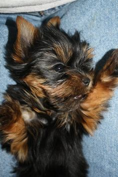 Yorkie Love! I love you this much!