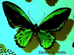 Emerald Green Butterfly - Denise A. Wells | Flickr - Photo Sharing!