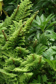 Polystichum setiferum Plumosomultilobum Group  plumose soft shield fern