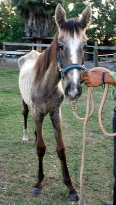 Willow was rescued from starvation at the hands of her owner by Pure Thoughts Horse Rescue...