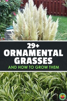 Ornamental grasses come in many shapes and sizes, and make a wonderful addition to your garden or landscaping. Learn the most popular types and how to grow them. via pool landscape Ornamental Grasses and How To Grow Them Ornamental Grasses For Shade, Ornamental Grass Landscape, Landscape Curbing, Grasses For Pots, Landscape Grasses, Full Sun Landscaping, Pool Landscaping Plants, Landscaping Along Fence, Landscaping Ideas