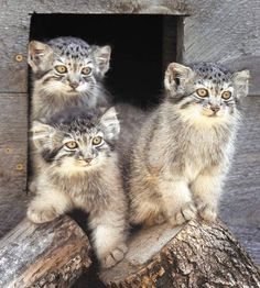 Three of the five new Pallas' cat kittens leave their nest box as a handler brings them food. Tuesday at the Red River Zoo in Fargo.