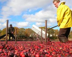 Cape Cod Cranberry Bog Tours | Cape Cod Attractions