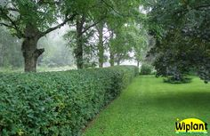 Sinikuusama, Lonicera caerulea 'Jörgen'.  Tavallisin lajike, tiheä ja kestävä. Leikattuna noeakasvuinen. Hyvännäköinen myös talvella. Korkeus: 1-2,5 m. Sopii sekä leikattu että vapaasti kasvava.
