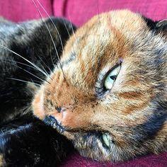 Foxy lady 🐅 #mygreatcat #my_loving_pet #cat #gatto #catoftheday #catsofinstagram #catstagram #gatti #instacat #instacat_meows #bestmeow #topcatphoto #miao #catlover #gatto #catoftheday #katze #gato #chat #猫  #neko #猫好き #Exellent_Cats #子猫 #プッシーキャット #ニャー #甘い #愛猫