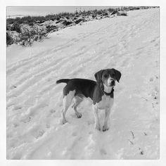 There's no beagle like a snow beagle