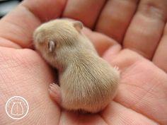 Tiny baby hamster.