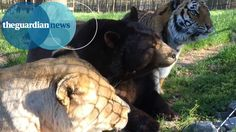 Baloo the American black bear, Leo the African lion, and Shere Khan the Bengal tiger eat, sleep and play together at Noah's Ark animal sanctuary in Georgia, ...