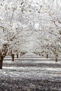 Almond tree blossoms in the spring