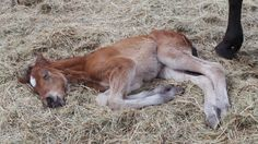 Novelle van Haflonië...when she was just one week old. Such a sweet foal  #foal #horse #mare