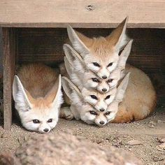 "animal-factbook: ""Fennec Foxes are highly social creatures with a rigid social hierarchy. When a pack of Fennec Foxes rest, they form what is often called a ""Fennec Stack"" with the alpha fox on the. Cute Funny Animals, Funny Animal Pictures, Cute Baby Animals, Animals And Pets, Hilarious Animal Memes, Funny Foxes, Funny Photos, Strange Animals, Animals Photos"