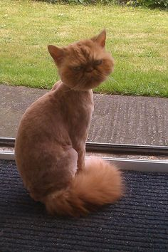 Persian Cat Haircut The hot weather is coming, time for a haircut - More memes, funny videos and pics on Cat Haircut, Haircut Funny, Blue Cats, Funny Animal Pictures, Animal Pics, Animal Memes, Grumpy Cat, Beautiful Cats, Dog Cat