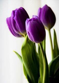 tulipanes holandeses - Buscar con Google