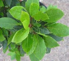 The Bay Laurel is a naturally pyramid-shaped tree with aromatic, evergreen leaves.