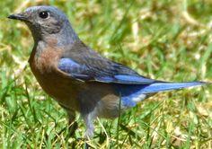 Western Bluebird - First ID'd 12/13/2013 in Idyllwild, CA