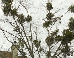 """Still Waters--Notes from a Virginia Shire: """"More Mistletoe for Christmas"""""""