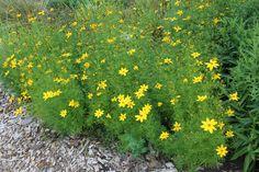 Szárazságtűrő, virágos növények a kertbe, teraszra - Bernikert Ikebana, Bonsai, Plants, Gardening, Bonsai Trees, Garten, Planters, Lawn And Garden, Garden