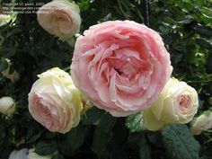 PlantFiles: Picture #2 of Large Flowered Climbing Rose 'Eden Climber' (Rosa)