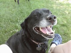 My happy girl...She's my 11 year old black lab and always smiling :)