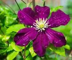 Herbaceous Perennials, Evergreen Shrubs, Plastic Pots, Plum Purple, Clematis, Vines, Roots, Gypsy, Bloom
