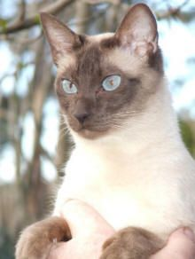 A really cute Tonkinese cat.