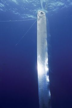 The Oarfish is a rare, solitary, and giant denizen of the ocean depths (arguably larger than a Whale Shark. (The Oarfish,17m as opposed to the Whale Shark, 12.96m in the Guinness Book of World Records.)) and is a filter feeder, comfortable cruising at depths of 200 m. Mistakenly named for its prominent pectoral oars with which it was thought to 'row', it undulates serpentlike with its dorsal fins and has been seen orienting itself vertically  #Oarfish