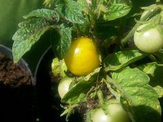 Vyšniniai pomidoriukai jau noksta