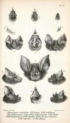 vintage Bats Illustrations - Google Search