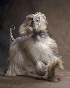 "Afghan Hound......Hunters in Afghanistan once referred to the Afghan Hound as ""the Noah's Ark dog""."