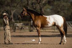 Appaloosa Horses, Palomino, American, Animals, Animales, Animaux, Animal, Animais, Appaloosa