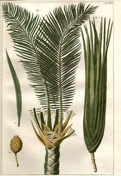Palm Tree (click on this and Google Images will give you access to antique botanical prints)