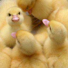 Fuzzy yellow ducklings. Photo by Noelle G., photogsquared on Etsy