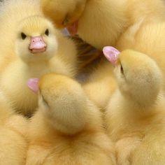 Duckies! So angry