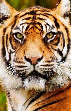 Gorgeous tiger :0)
