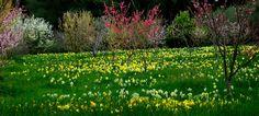 filoli daffodil - Google 검색
