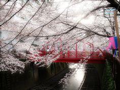 Dreamy Sakura scenery.