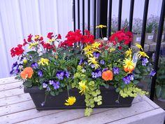 Window box idea. Red Caliente Geraniums, Yellow Euryops, Blue Violas, Orange Pansies, Chartreuse Lysimachia.
