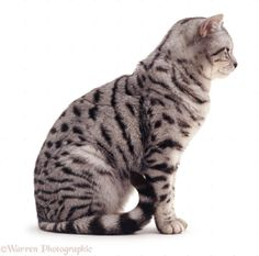 1000 Images About Cats On Pinterest Cat Sitting Tabby