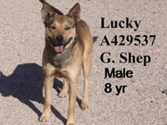 Lucky - SENIOR ALERT!!! is an adoptable German Shepherd Dog Dog in Tucson, AZ. Lucky is an older guy (8 years) who needs to have his teeth cleaned. To ADOPT a SPECIAL NEEDS ANIMAL (SNA, LTR, Rescue Li...
