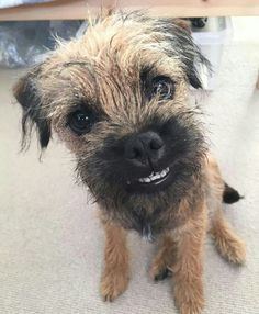 No, I don't have false teeth. Border Terrier Puppy, Terrier Dogs, Best Dog Breeds, Best Dogs, I Love Dogs, Cute Dogs, Cute Borders, Brown Dog, Boarders