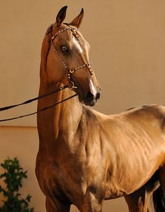 The Akhal-Teke horse breed from Turkmenistan are so exotic looking, they have a softness to them but look fierce.