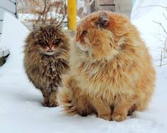 Alla Lebedeva and her husband, Sergey have been a huge cat persons for over a decade. Their favorite breed are the Siberian cats. They live on a farm, in Pr Siberian Forest Cat, Siberian Cat, Pretty Cats, Beautiful Cats, Fat Cats, Cats And Kittens, Crazy Cat Lady, Crazy Cats, Pics Of Cute Cats