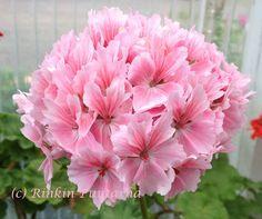 Pelargonitaivas: Vectis Allure. Vectis Allure edustaa B. Westin takuuvarmaa työtä erityisen hyvin -niistä kun ei vaan voi olla pitämättä ja etenkään tällainen kukka ei vaan voi jättää ketään kylmäksi. Kukat ovat yksinkertaiset, kaksisävyiset vaaleanpunaiset, kukkatertut tiiviit ja kookkaat. Vectis Allure on tähtipelargoniksi melko rotevakasvuinen. Lehdet ovat vihreät.