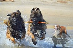 otso & Agro having some fun in the water #Leonberger #hillhavenleonbergers