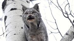 Male Canada lynx only have limited opportunity to mate with a female, making their rivalries especially intense.