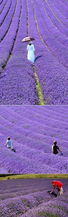 British Lavender Fields Hartley Park Farm, Alton, Hampshire England