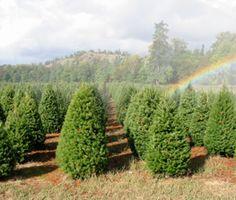 Christmas Tree Farms southwest Oregon